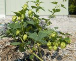 Cascade Hop Plant, Little House by the Dunes